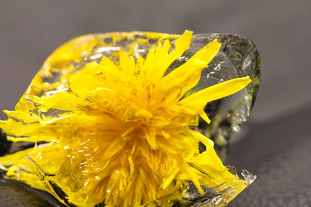yellow dandelion in the ice photo