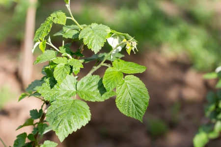 green leaves of raspberry in nature photo
