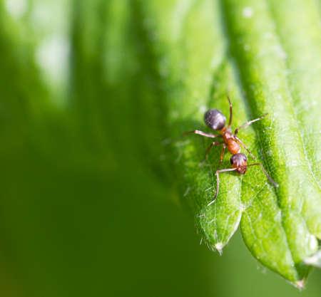 formic: hormiguita en la naturaleza. macro