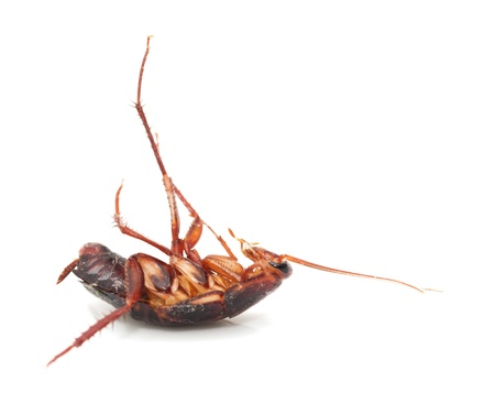 revolting: cockroach on white background. macro