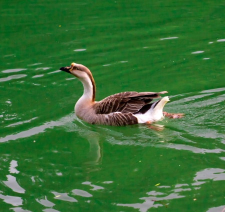 goose on pond in nature Stock Photo - 19706645