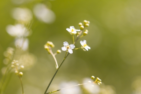 small white flowers in nature. macro photo