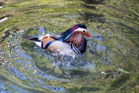 Daisy Duck in the water photo