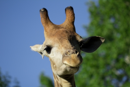 giraffe's head in the nature photo