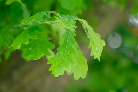 oak leaves in nature photo