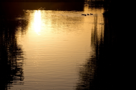 goose on pond in nature at sunset photo