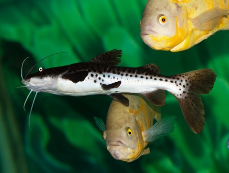 freshwater barracuda: catfish in the aquarium