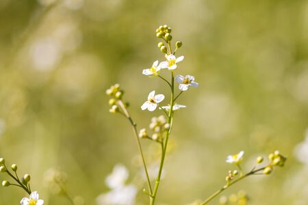 oxalidaceae: small white flowers in nature. macro