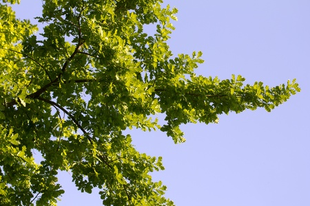 leaves of a tree against a blue sky in the nature photo