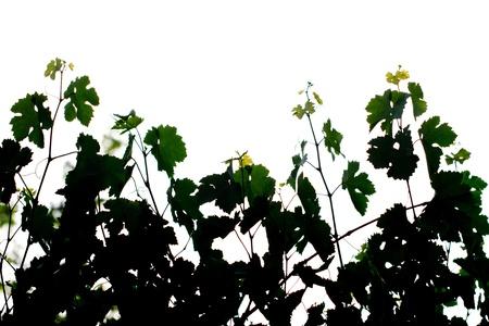 stoma: foglie di vite in bianco e nero