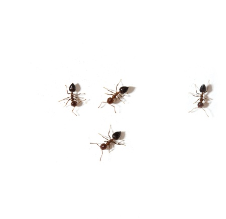 formicidae: ants on a white background. macro