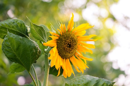 beautiful yellow sunflower on nature Stock Photo - 20532523