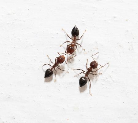 pismire: ants on a white background. macro