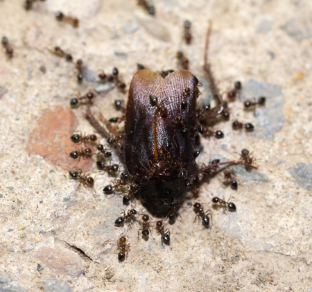 compatriot: Ants feed on the beetle