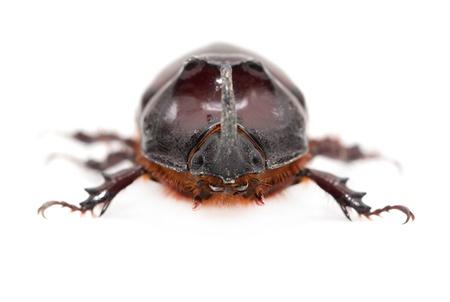 Rhinoceros beetle on a white background. macro Stock Photo