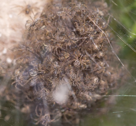 Children spiders in a cocoon. macro photo