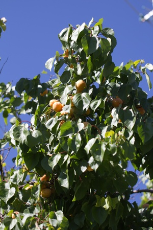 apricots on the branches of a tree in nature photo