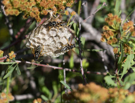 paper wasp: wasps on comb in nature