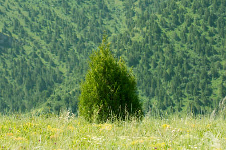 idylle: pine tree in the mountains
