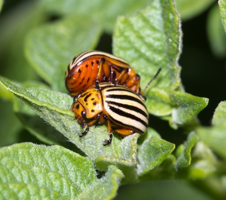 Colorado potato beetle in nature. macro photo