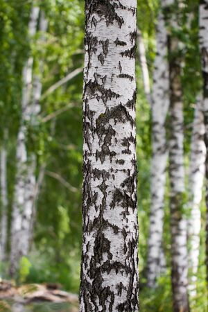 birch in nature photo