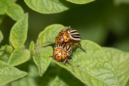 Colorado potato beetle on potato leaves in nature photo