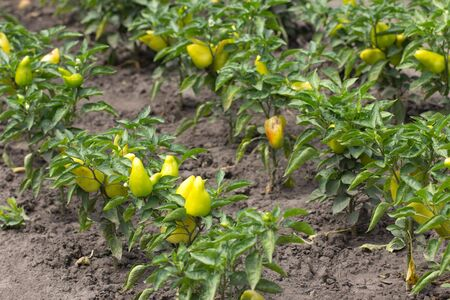 yellow pepper in the garden outdoors photo