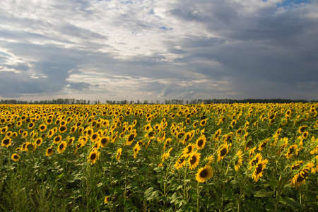 beautiful flowers of sunflowers on nature Stock Photo - 21332448