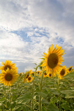 beautiful flowers of sunflowers on nature Stock Photo - 21332452