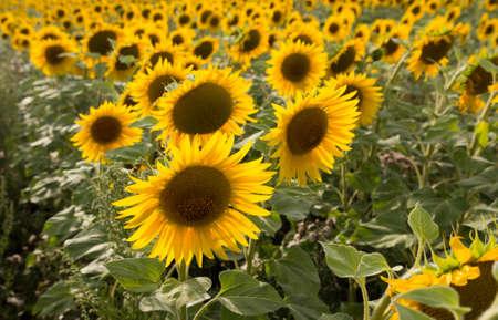 beautiful flowers of sunflowers on nature photo