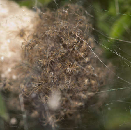 Children spiders in a cocoon. macro Stock Photo - 21334561