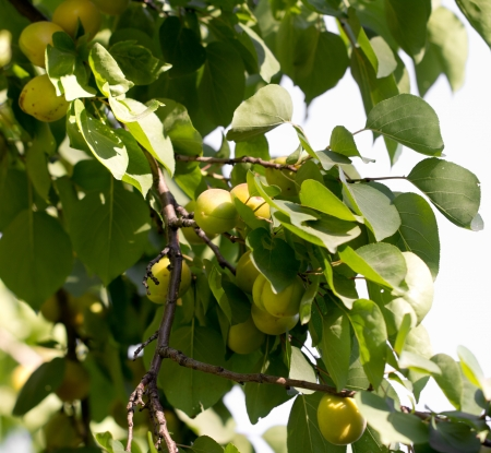 apricots on the tree in nature photo