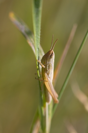 grasshopper in the grass. macro photo