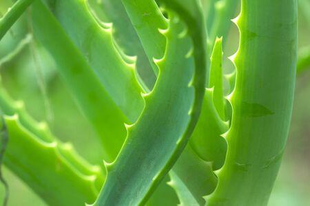 plant drug: Aloe beautiful in nature. macro Stock Photo