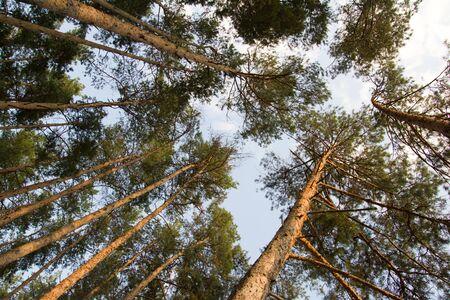 background of beautiful pine trees photo