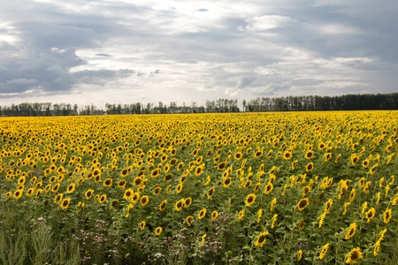 beautiful flowers of sunflowers on nature Stock Photo - 21334847