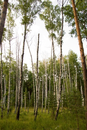 background of beautiful birch and pine trees photo