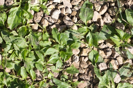 plantain herb: plantain herb in the rocks on the nature