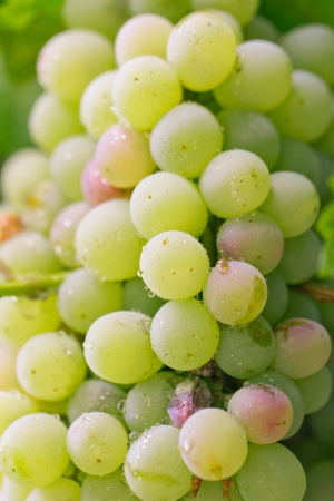 fresh ripe grapes on the nature photo