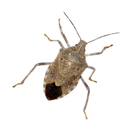 Close-up the stinkbug isolated in white background photo