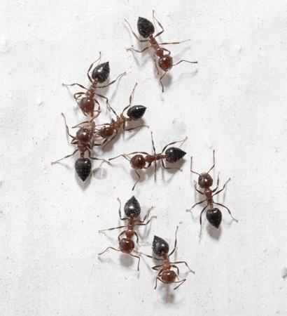 salticidae: ants on a white wall. macro