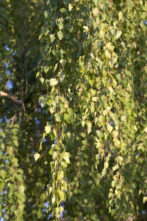 background from birch leaves on nature photo