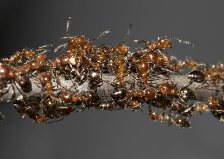 pismire: ants. macro