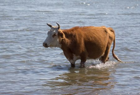cow in the water on the lake Stock Photo - 22407138