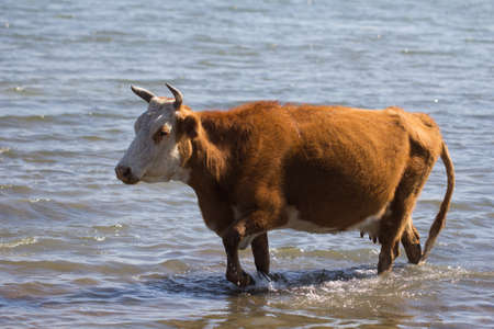 cow in the water on the lake Stock Photo - 22407224