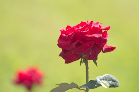red rose in nature photo
