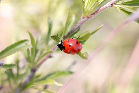 red beetle in nature. macro photo