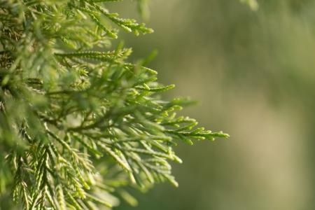 arborvitae: arborvitae branch on the nature. macro