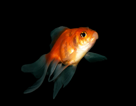 jelly head: goldfish on black Stock Photo