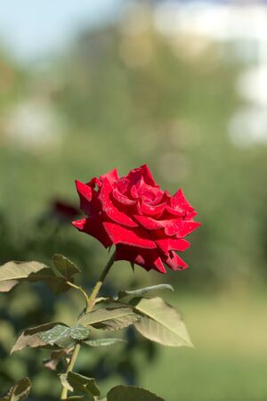 rose in nature photo